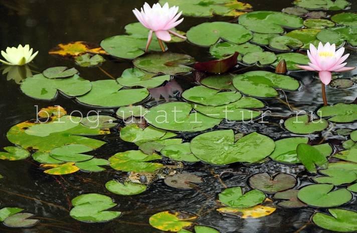 Лягушкин пруд