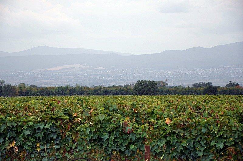 vinogradniki