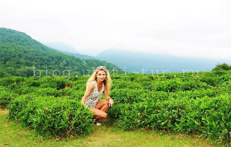 плантация чая